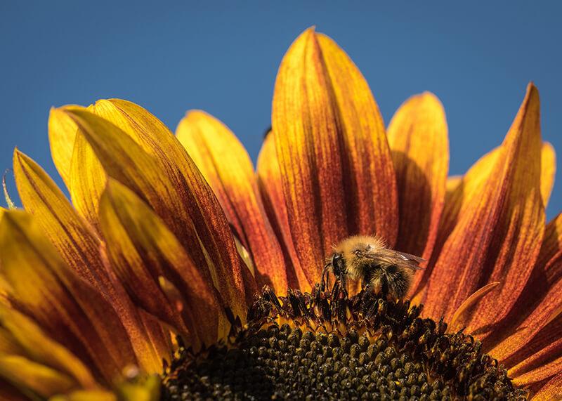 Bee sunny. Chris Combe