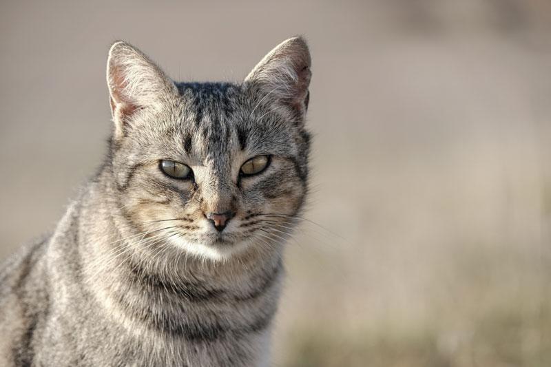 Gato Silvestre 'cazado' con la Fujifilm X-Pro2