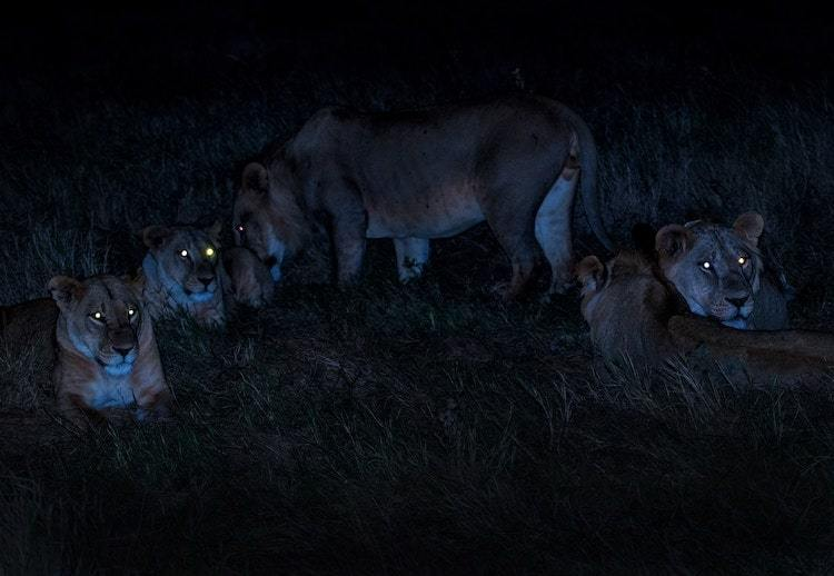 Photographie de nature la nuit : lions