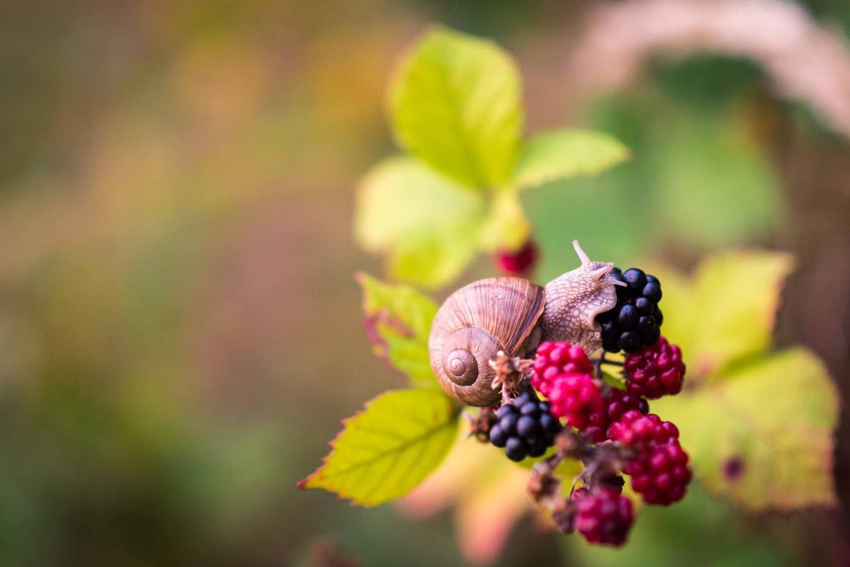 Retrata frutas típicas como las moras